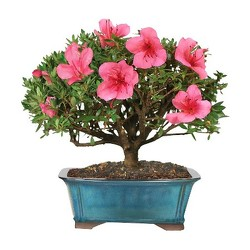 Azalea Bonsai<b> from Flowers All Over.com
