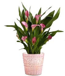 Calla Lily Plant<br><b>FREE SHIPPING! from Flowers All Over.com