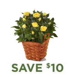Rose Plant in Basket<B> from Flowers All Over.com