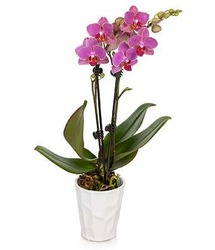 Precious Pink Orchid Plant<br><b>FREE DELIVERY from Flowers All Over.com
