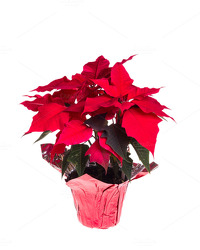 Red Holiday Poinsettia<br><b>(6