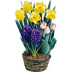 Spring Has Sprung Bulb Basket<BR><B>FREE NEXT DAY DELIVERY from Flowers All Over.com