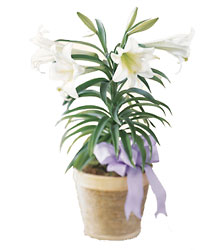 Large Easter Lily In Basket<br><b>FREE DELIVERY from Flowers All Over.com