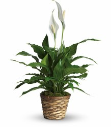 Peace Lily<br><b>FREE DELIVERY from Flowers All Over.com