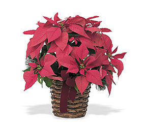 Holiday Poinsettia<b><br>Large<br>(8