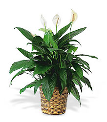 Floor Sized Spathiphyllum In Basket<b> from Flowers All Over.com