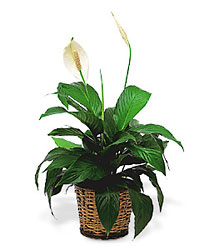 Small Spathiphyllum<br> In Basket<b> from Flowers All Over.com