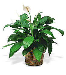 Medium Spathiphyllum<br> In basket<b> from Flowers All Over.com