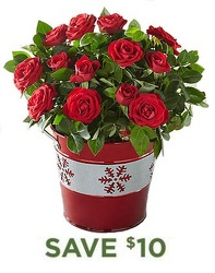 Holiday Mini Rose Plant<b> from Flowers All Over.com